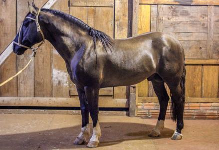 Cavalo Crioulo | Preço de Cavalos em todo o Brasil - e-rural Imagens