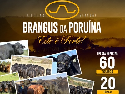 Leilão Virtual Touros Brangus da Poruína - Esse é Forte