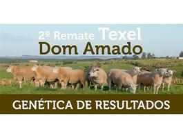 2º Remate Texel Dom Amado - Fêmeas